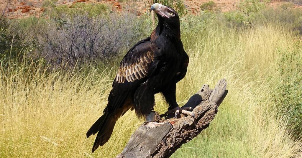Wedge-tail Eagle (Aquila audax), Alice Springs Desert Park