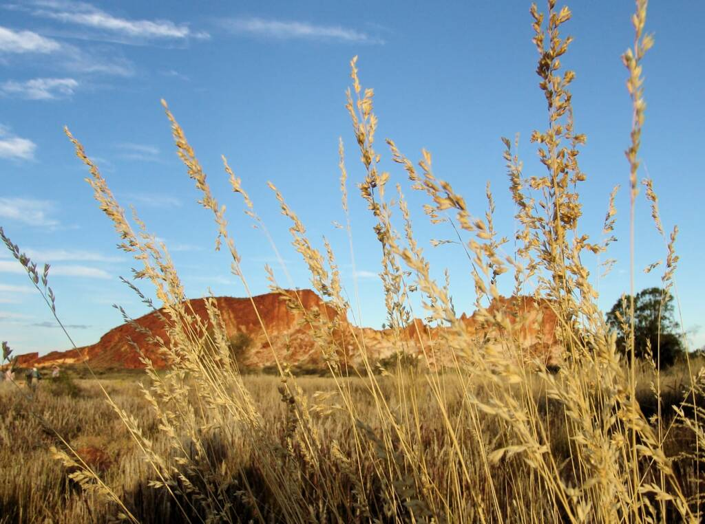 Weeping Spinifex (Triodia brizoides)