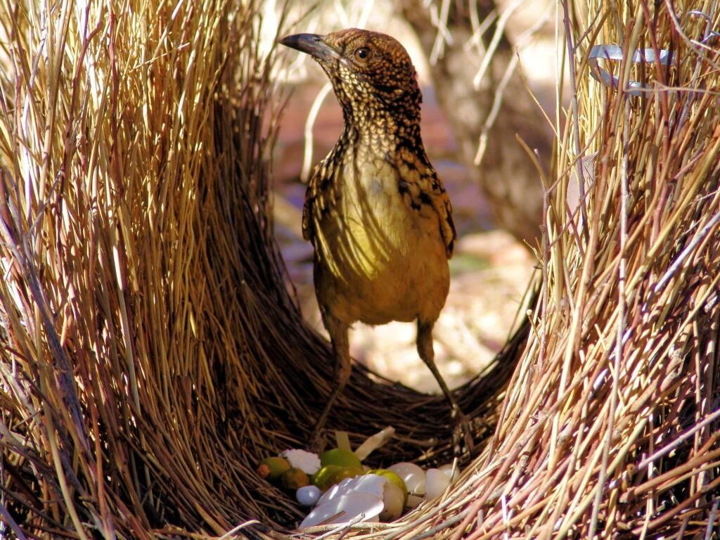 Western Bowerbird in it's bower