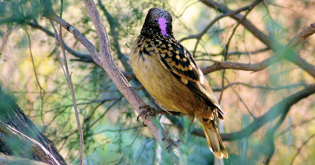 Characteristic erectile iridescent lilac/pink nape crest of the Western Bowerbird