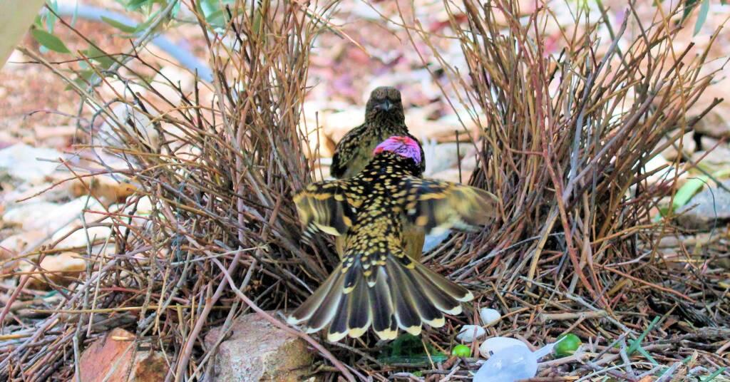 Western Bowerbird bower courtship