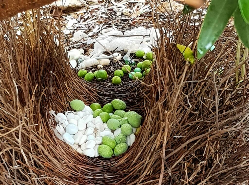 Treasures of our Western Bowerbird