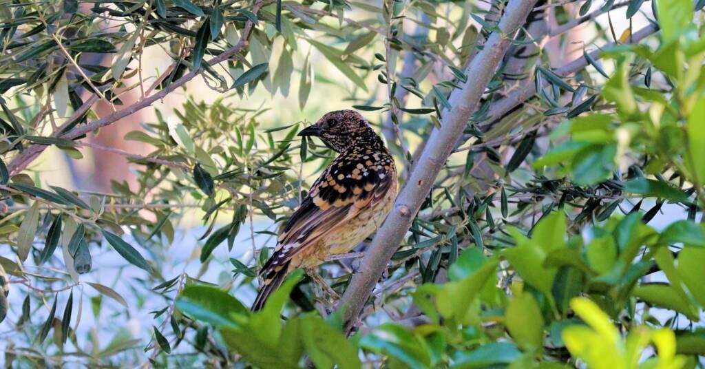 Male Western Bowerbird