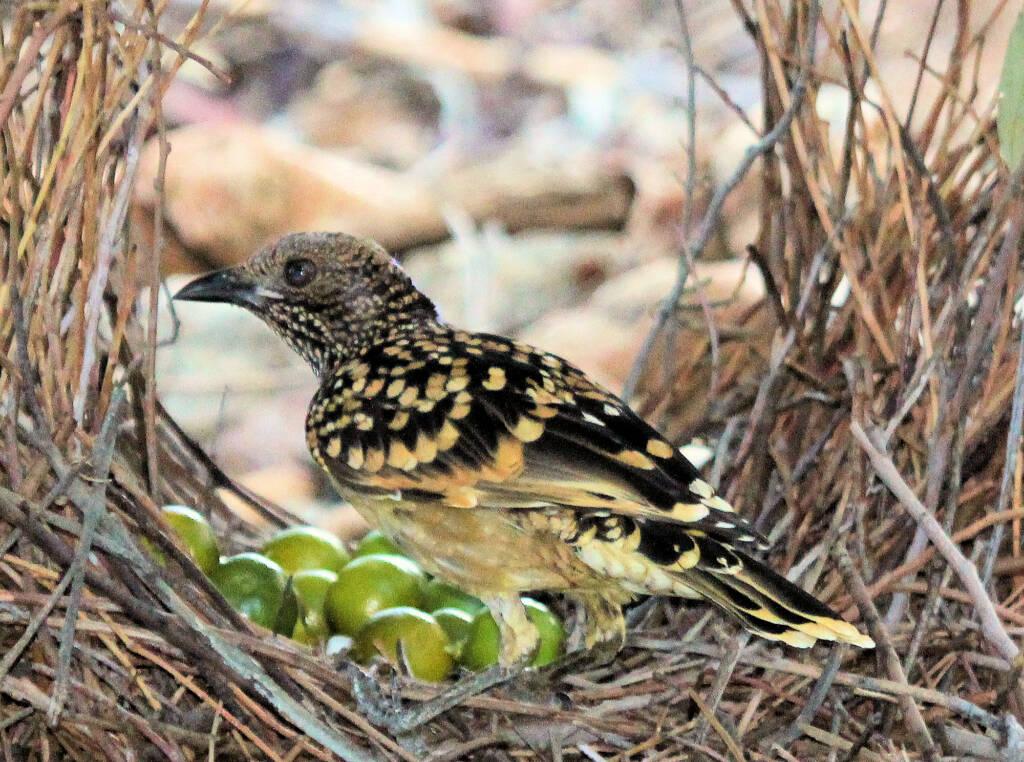 Western Bowerbird (Chlamydera guttata)