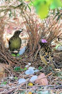 Male Western Bowerbird enticing female bird to his bower