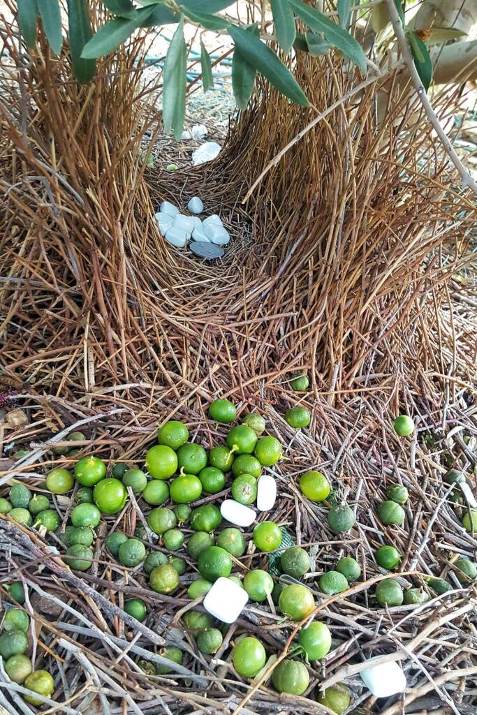 Treasures of the Western Bowerbird