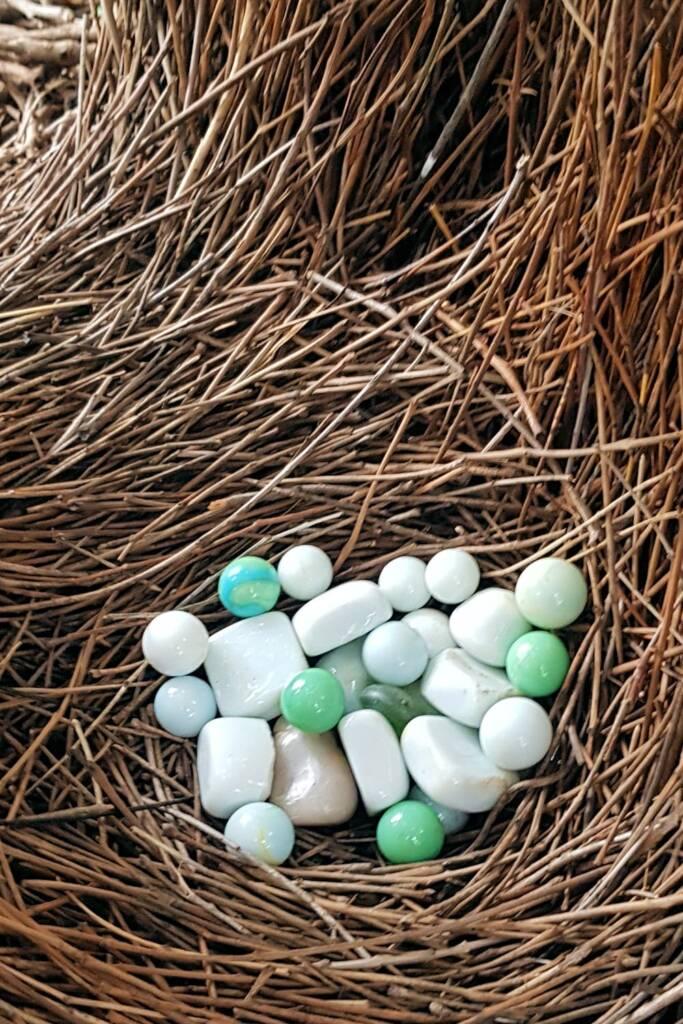 Treasures of the Western Bowerbird