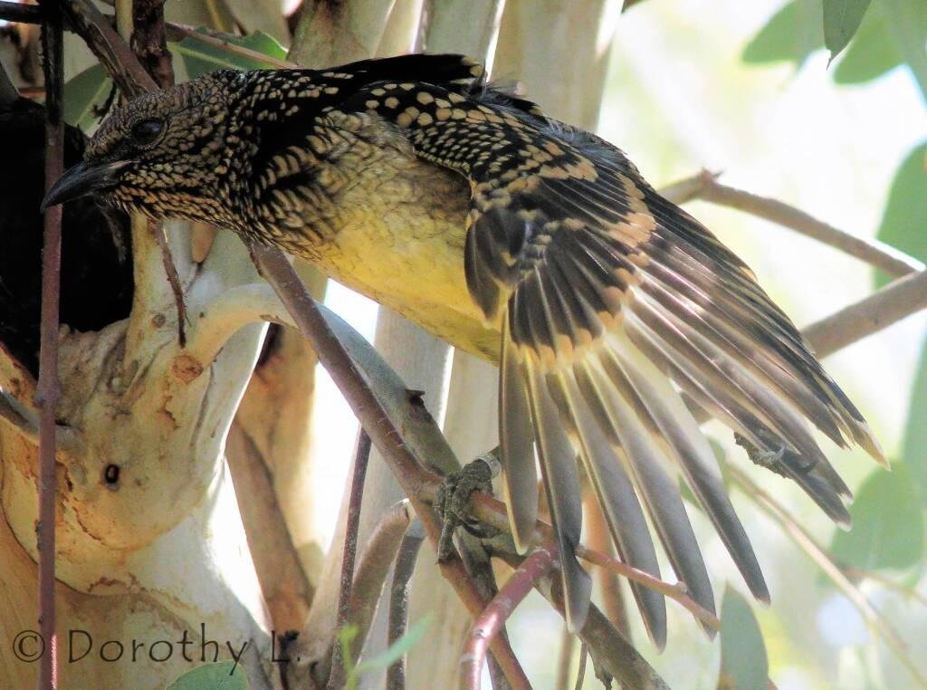 Western Bowerbird (Chlamydera guttata), Alice Springs Desert Park, NT