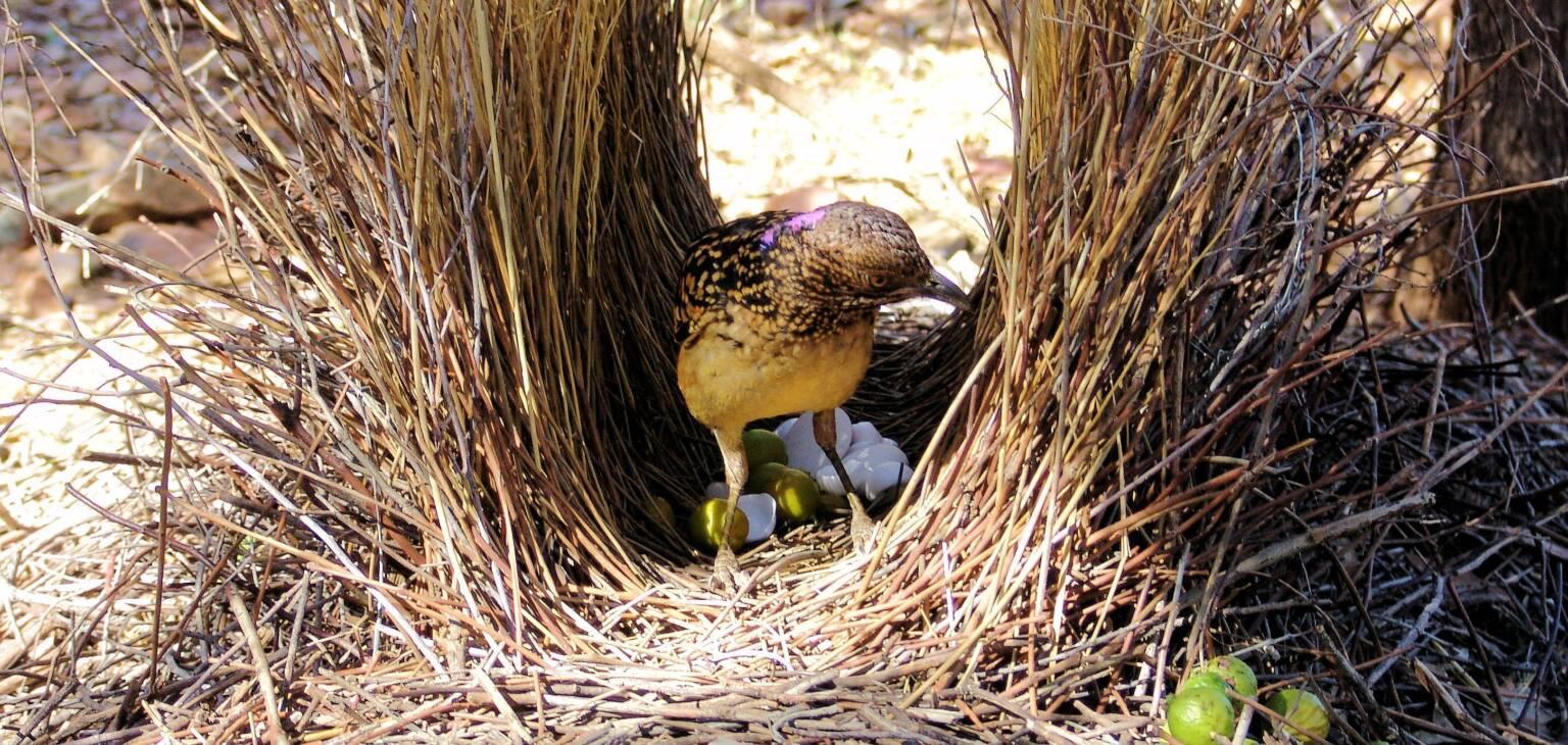Western Bowerbird in bower