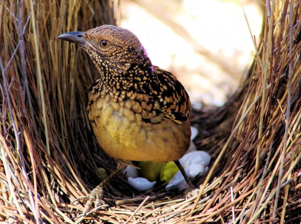 Western Bowerbird, Central Australia