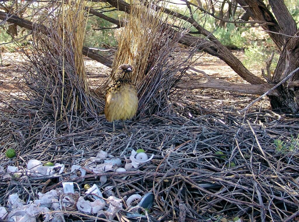 Western Bowerbird, Olive Pink Botanic Garden
