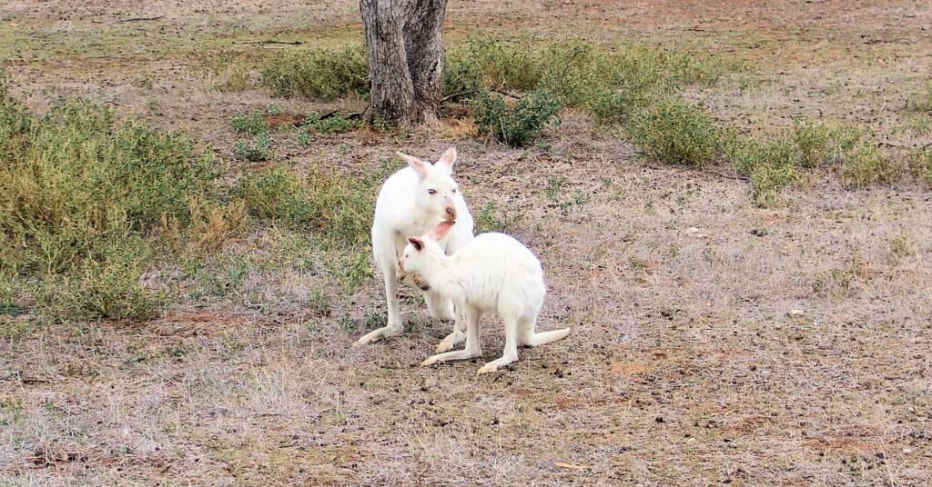 White Western Grey Kangaroo (Macropus fuliginosus)