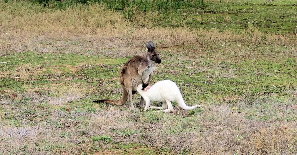 Western Grey Kangaroo (Macropus fuliginosus)