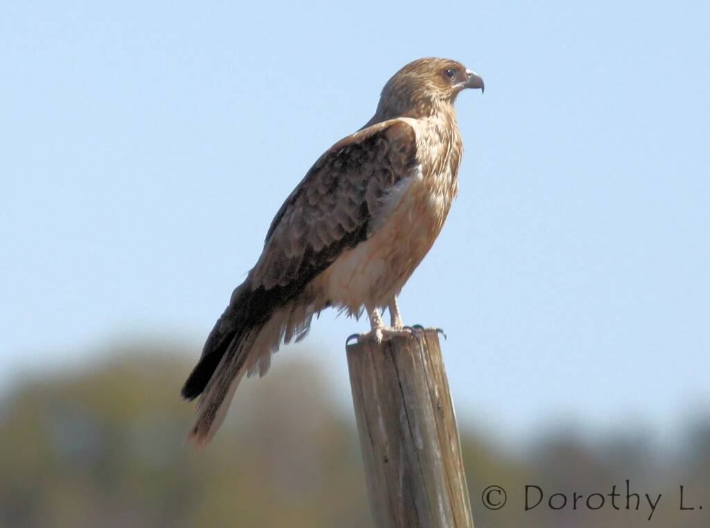Whistling Kite (Haliastur sphenurus)