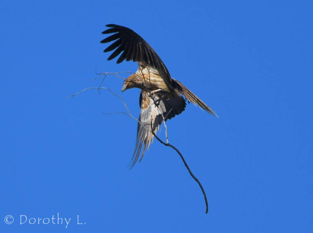 Whistling Kite (Haliastur sphenurus) carrying nesting material