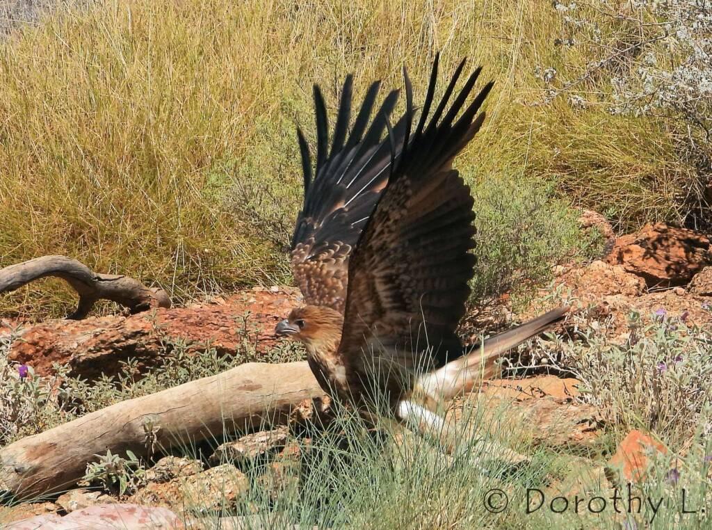 Whistling Kite - Birds of Prey Show, Alice Springs Desert Park