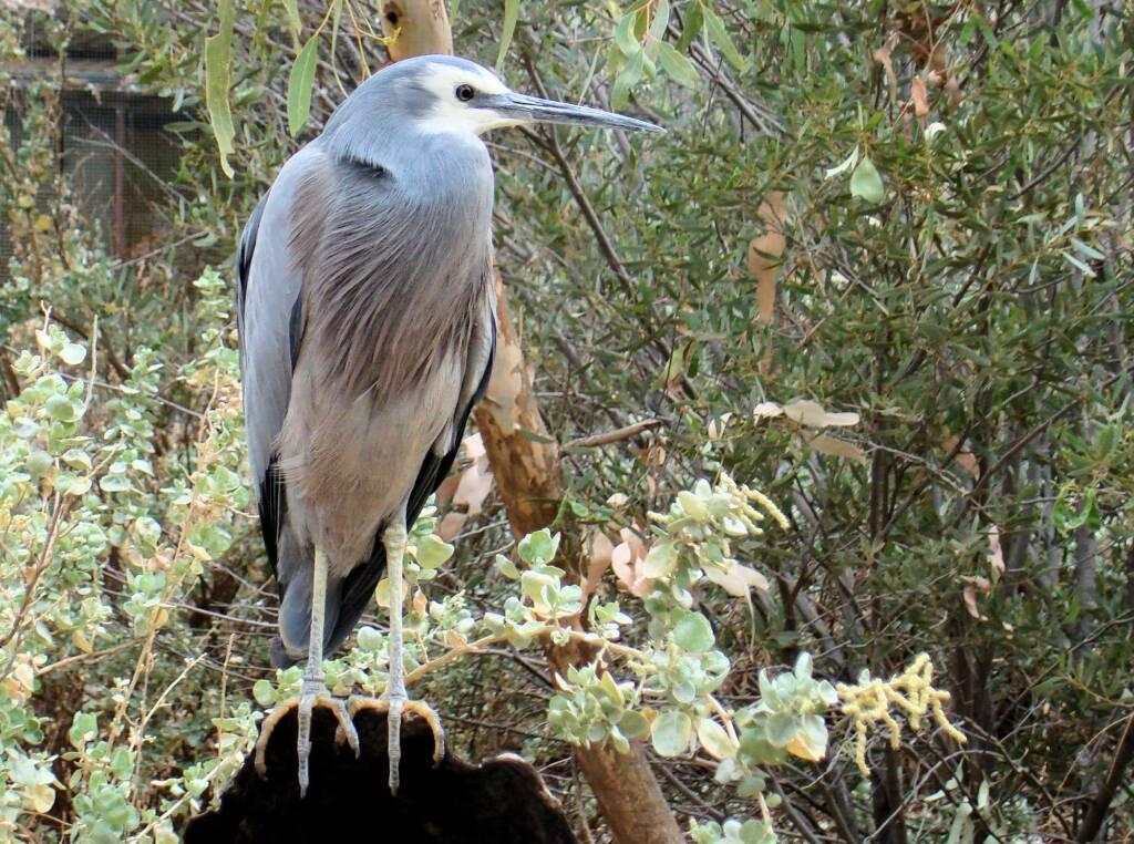 White-faced Heron (Egretta novaehollandiae), Alice Springs Desert Park