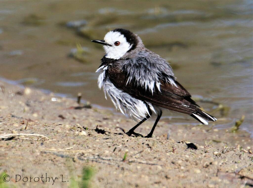 White-fronted Chat (Epthianura albifrons)