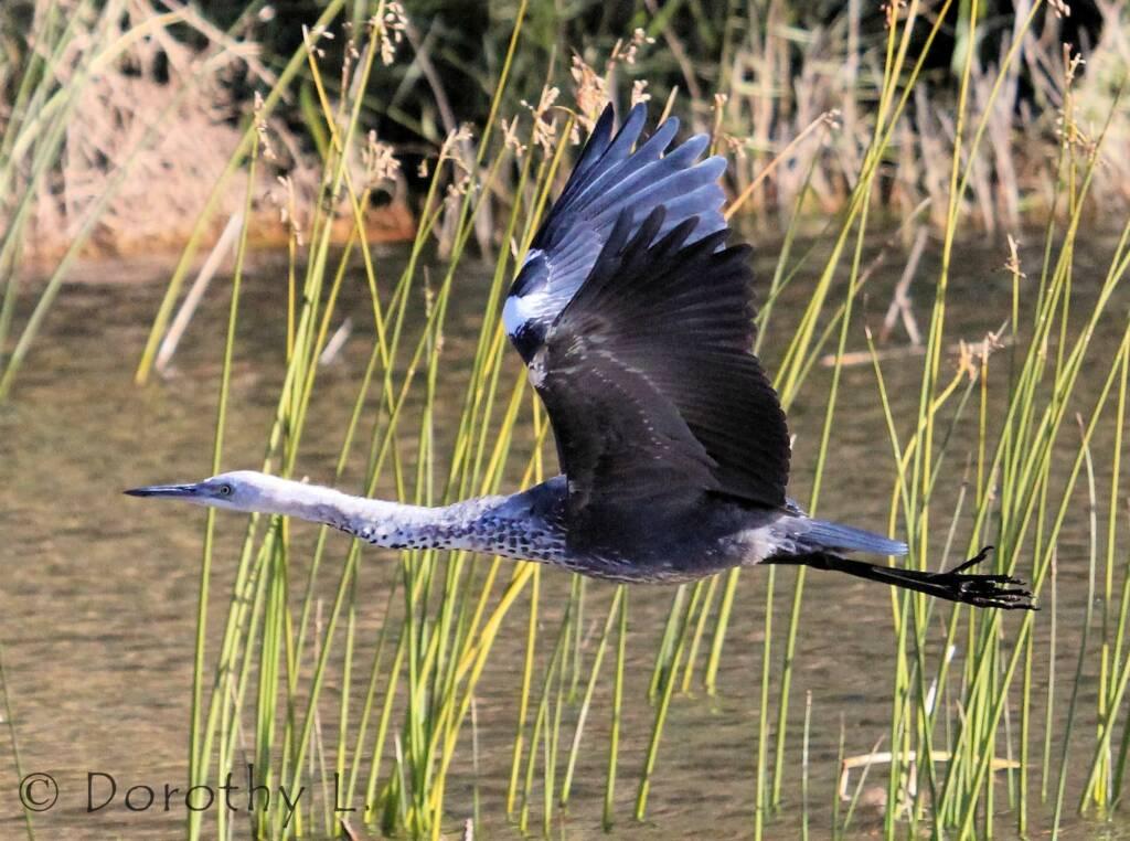White-necked Heron (Ardea pacifica), Glen Helen, NT