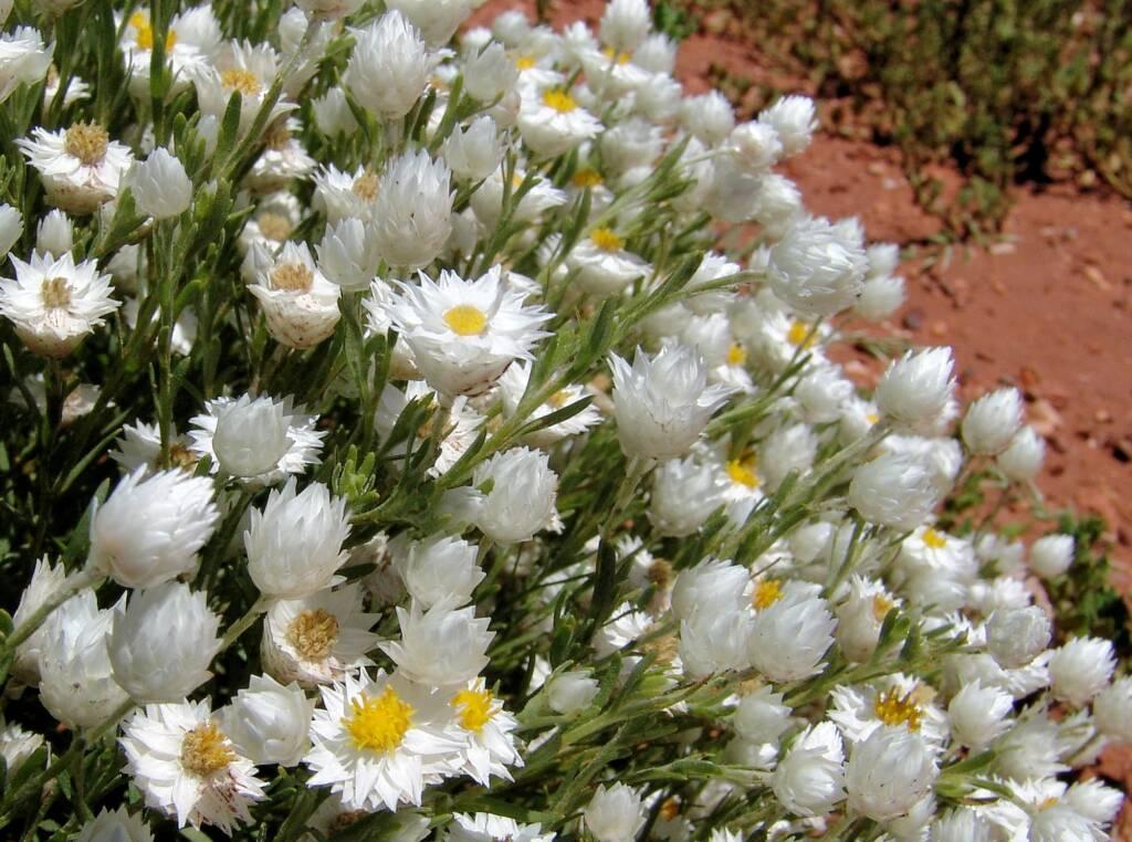 White Paper Daisy (Rhodanthe floribunda), Owen Springs Reserve, NT
