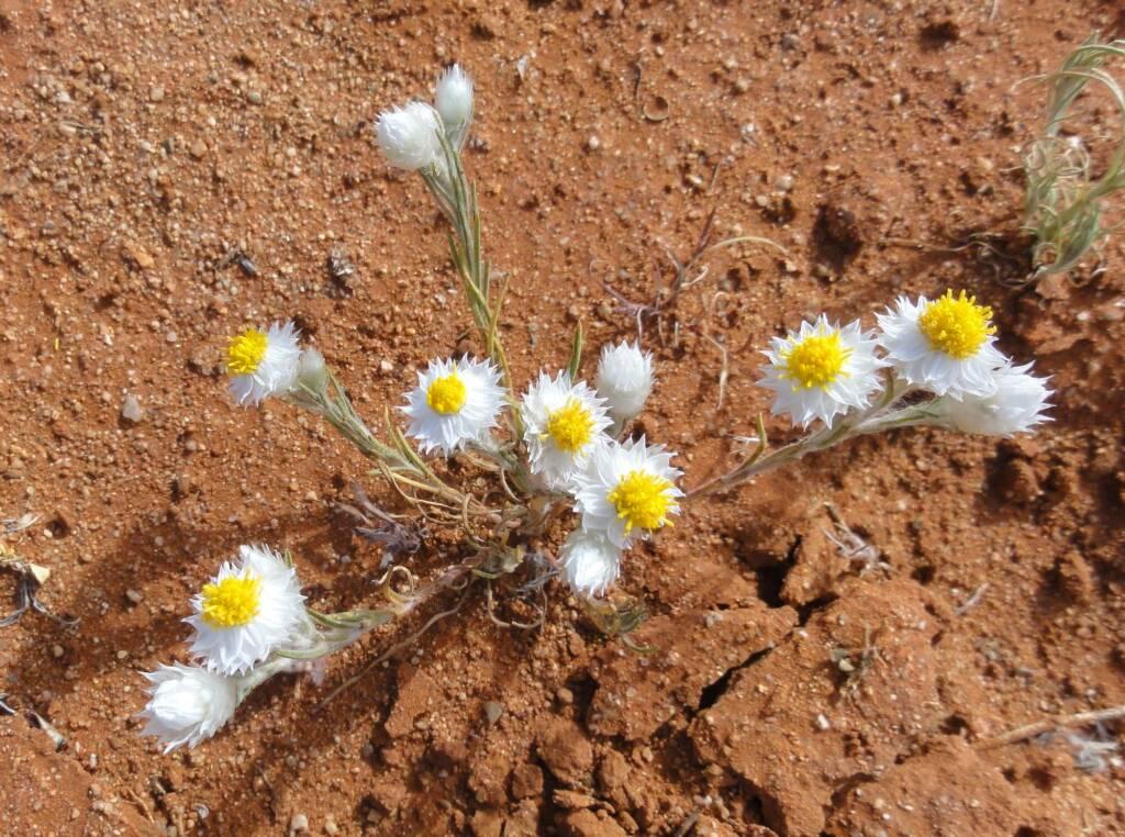 White Paper Daisy (Rhodanthe floribunda), Binns Track, NT