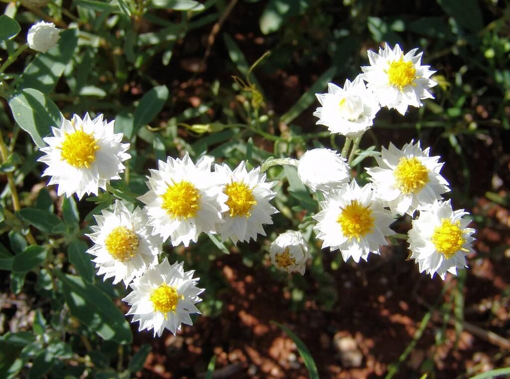 White Paper Daisy (Rhodanthe floribunda), Tanami Road (north of Alice Springs), NT