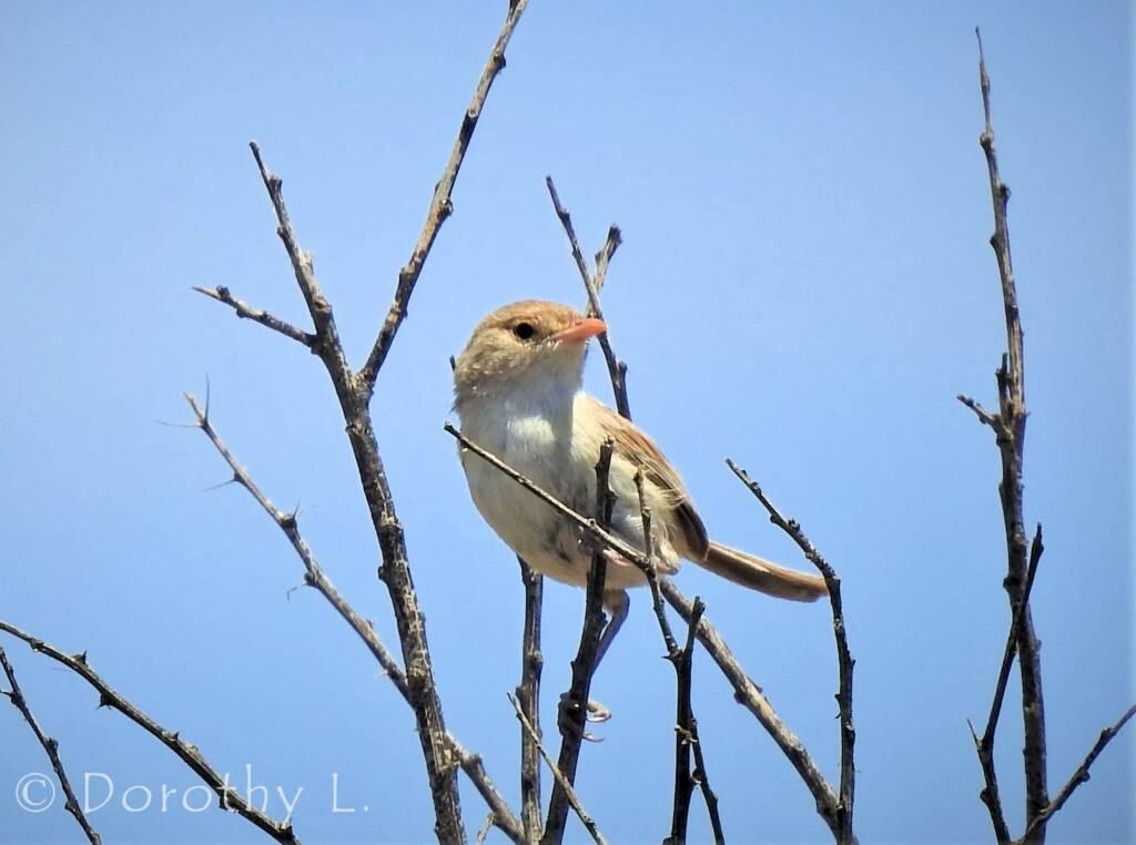 White-winged Fairywren (Malurus leucopterus)