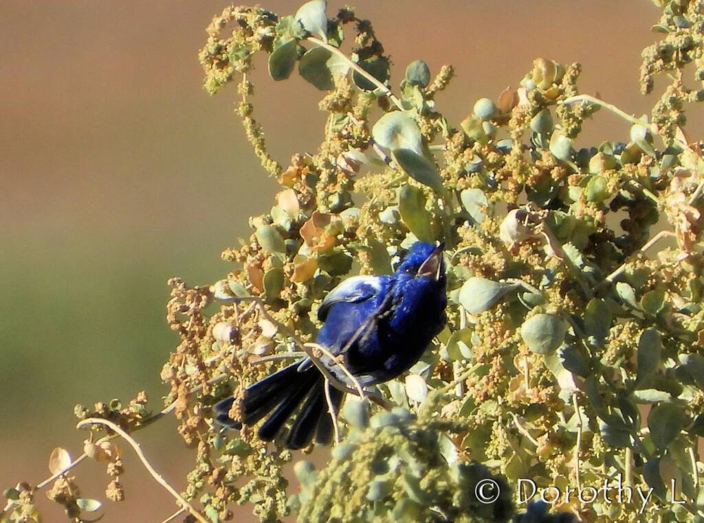Male White-winged Fairywren (Malurus leucopterus)