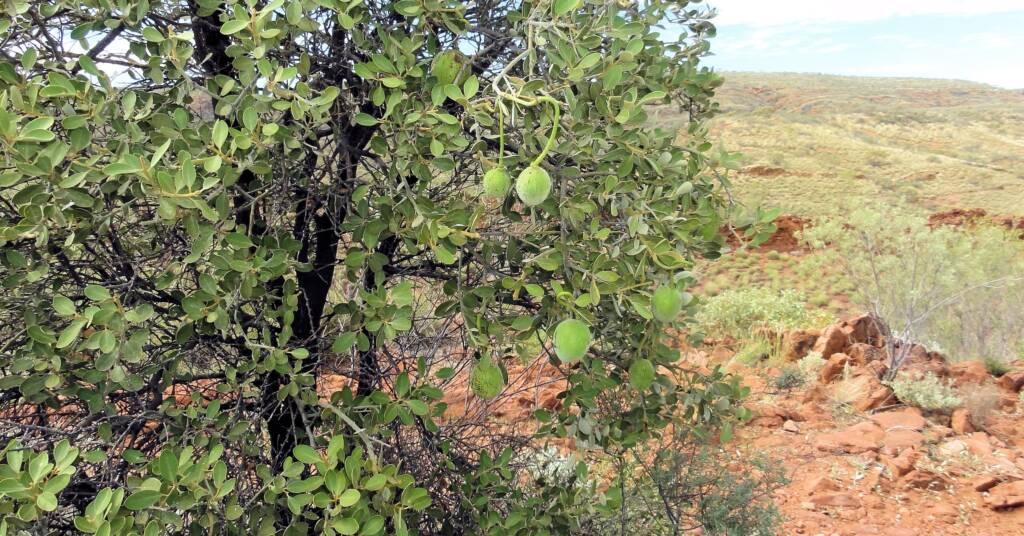Wild Orange (Capparis mitchellii) at Point Howard Lookout, NT