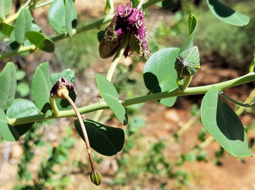 Wild Passionfruit (Capparis spinosa var. nummularia)