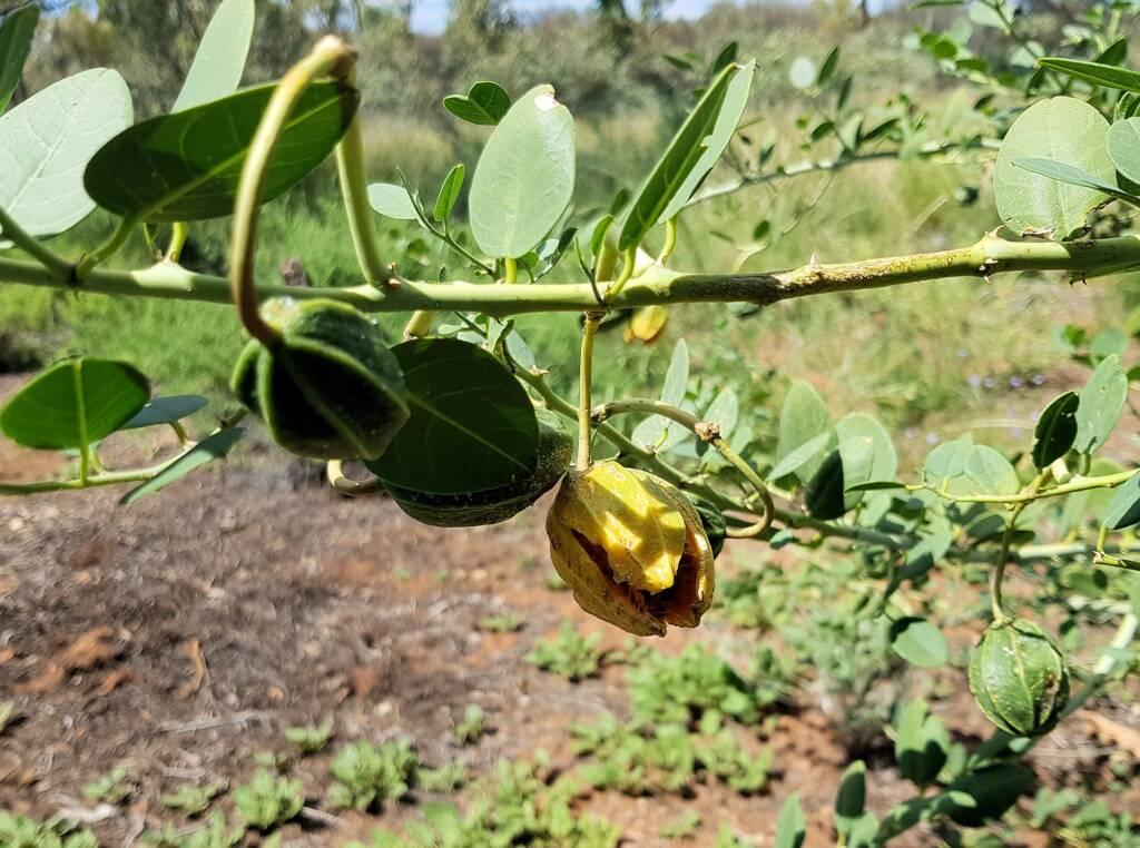 Bush Passionfruit (Capparis spinosa var. nummularia), Alice Springs Desert Park