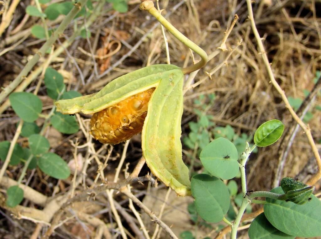 Wild Passionfruit (Capparis spinosa var. nummularia), Anzac Hill, Alice Springs