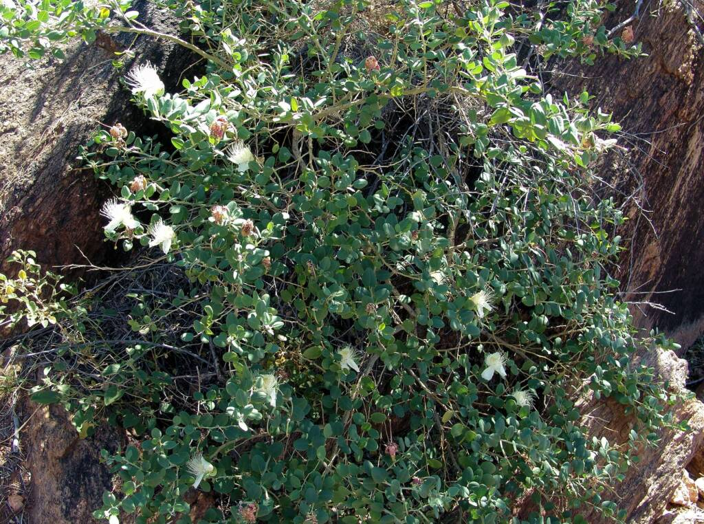 Caper Bush (Capparis spinosa var. nummularia), Olive Pink Botanic Garden
