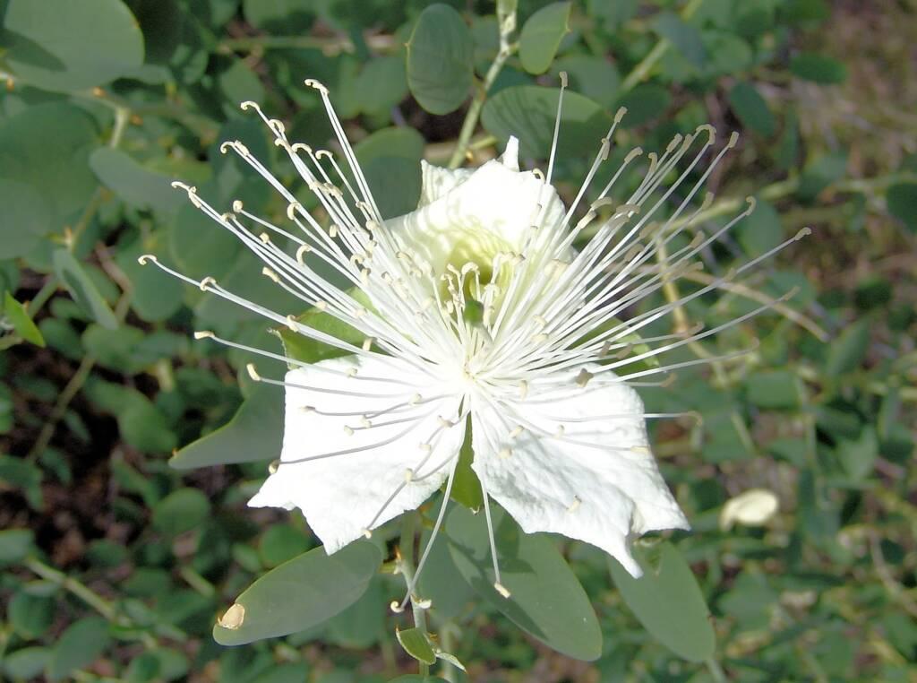 Wild Passionfruit (Capparis spinosa var. nummularia), Owen Springs Reserve, NT