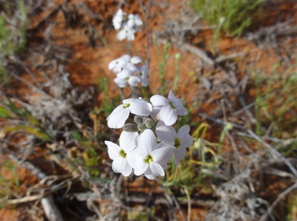 Wild Stock (Blennodia canescens), Binns Track, NT