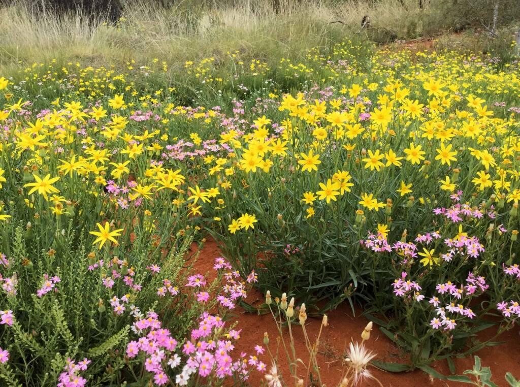 Wildflowers display at the Alice Springs Desert Park