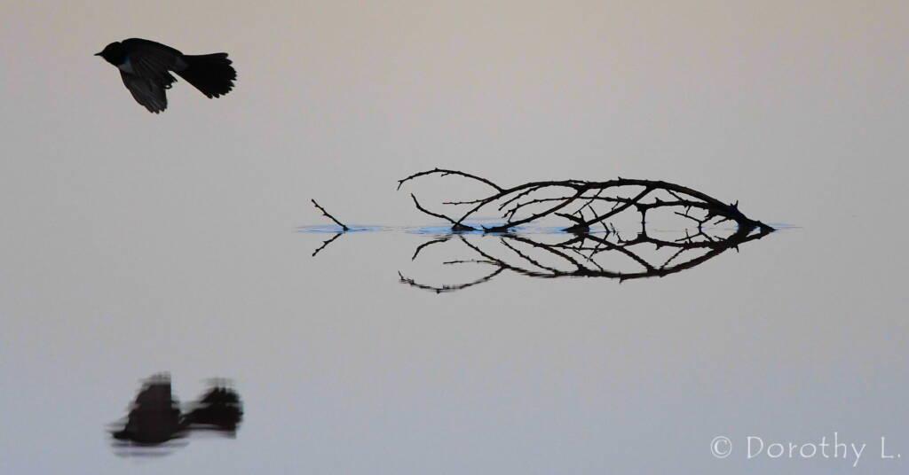 Willy Wagtail (Rhipidura leucophrys)