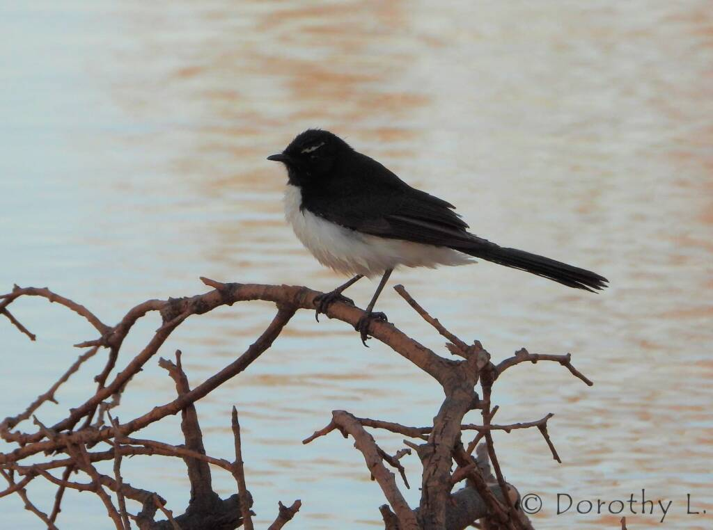 Willy Wagtail (Rhipidura leucophrys), Kunoth Bore, NT