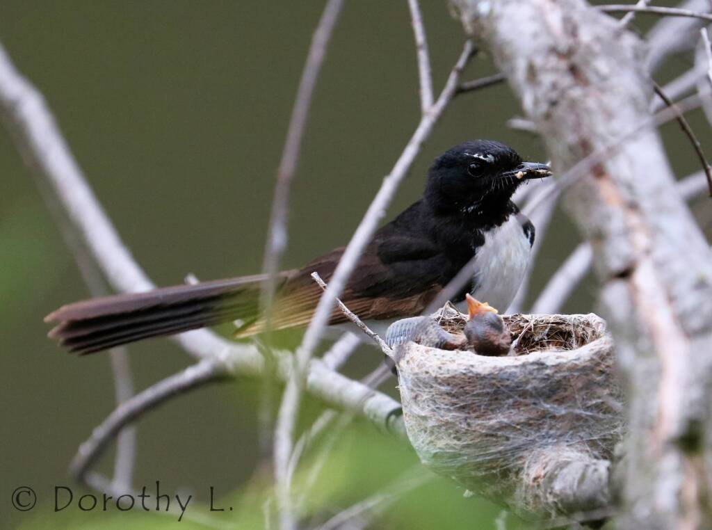 Willie Wagtail (Rhipidura leucophrys) with young
