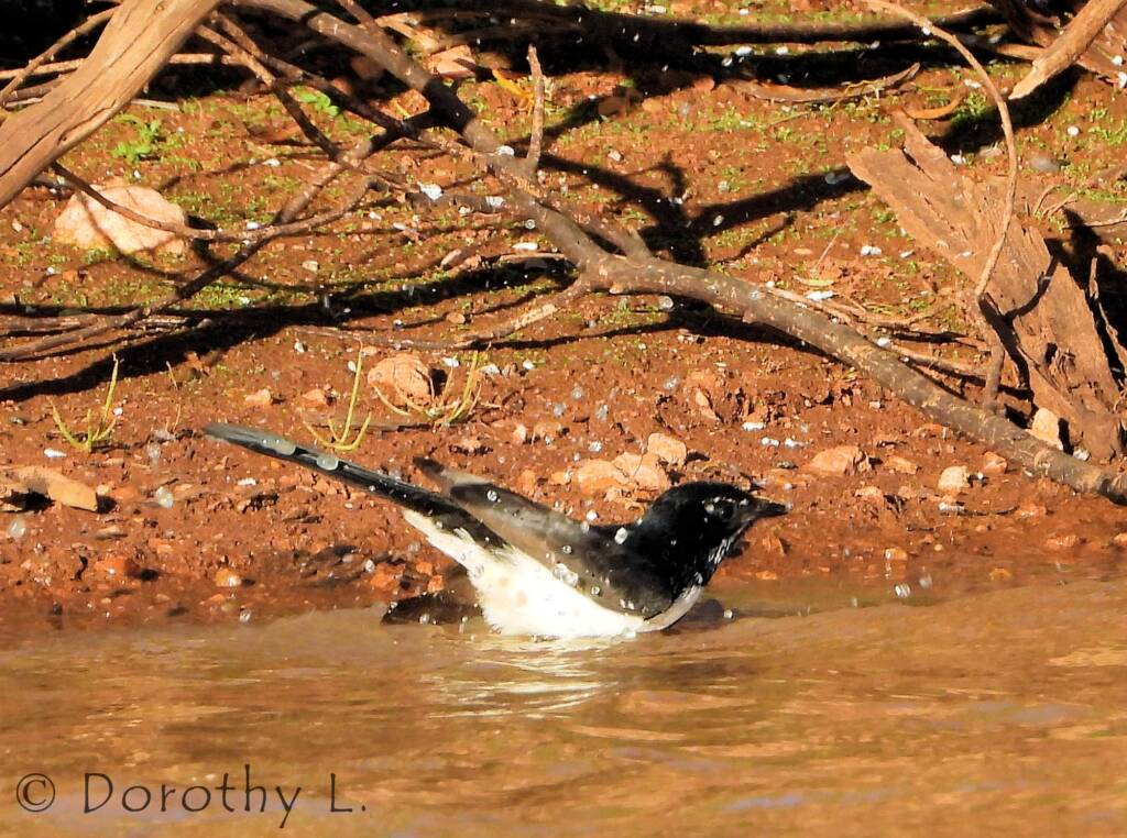 Willie Wagtail (Rhipidura leucophrys), Kunoth Bore, NT