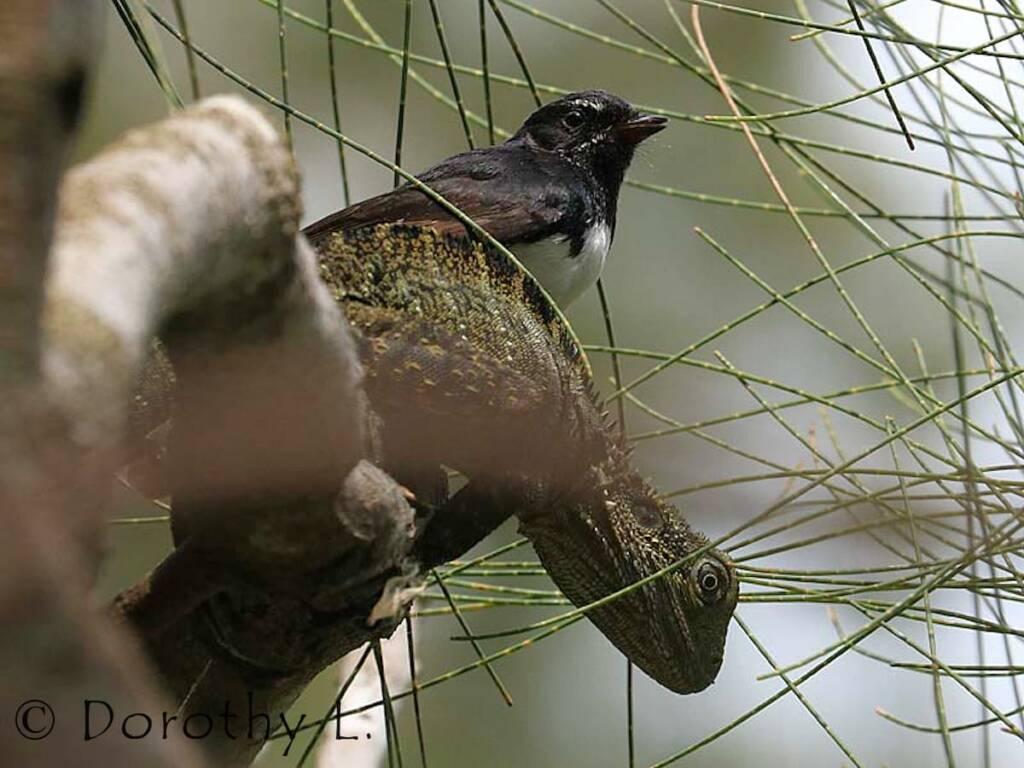 Willie Wagtail (Rhipidura leucophrys)