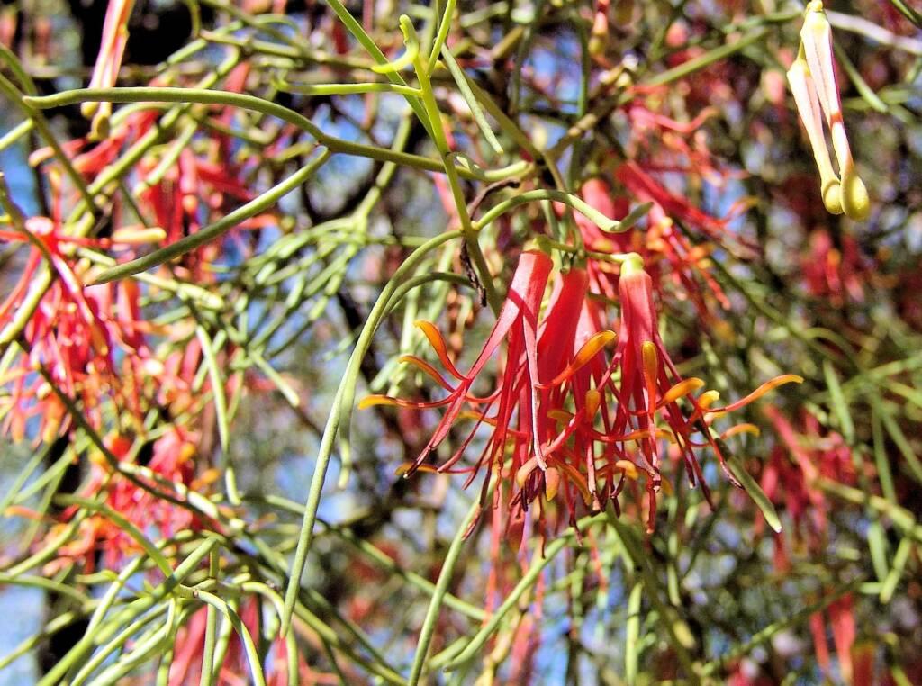 Wire-Leaf Mistletoe (Amyema preissii)