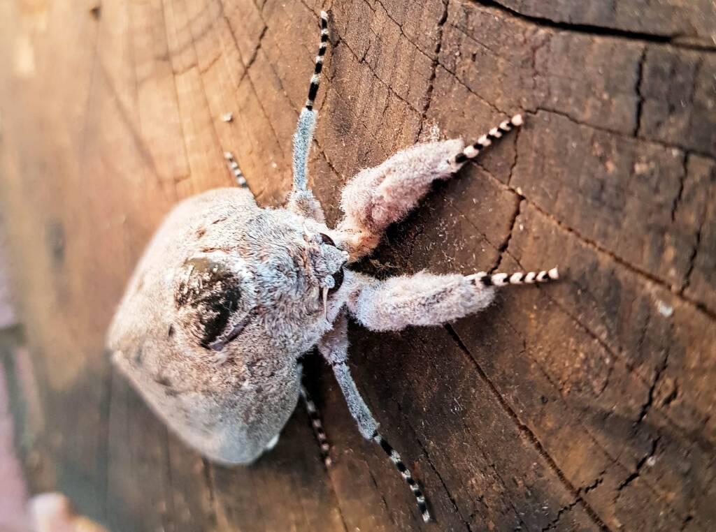 Witchetty Grub Cossid Moth (Endoxyla leucomochla)