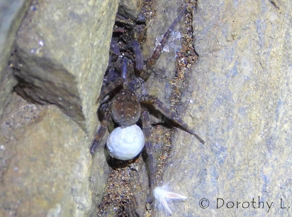 Wolf Spider (Venatrix arenaris), Simpsons Gap, NT