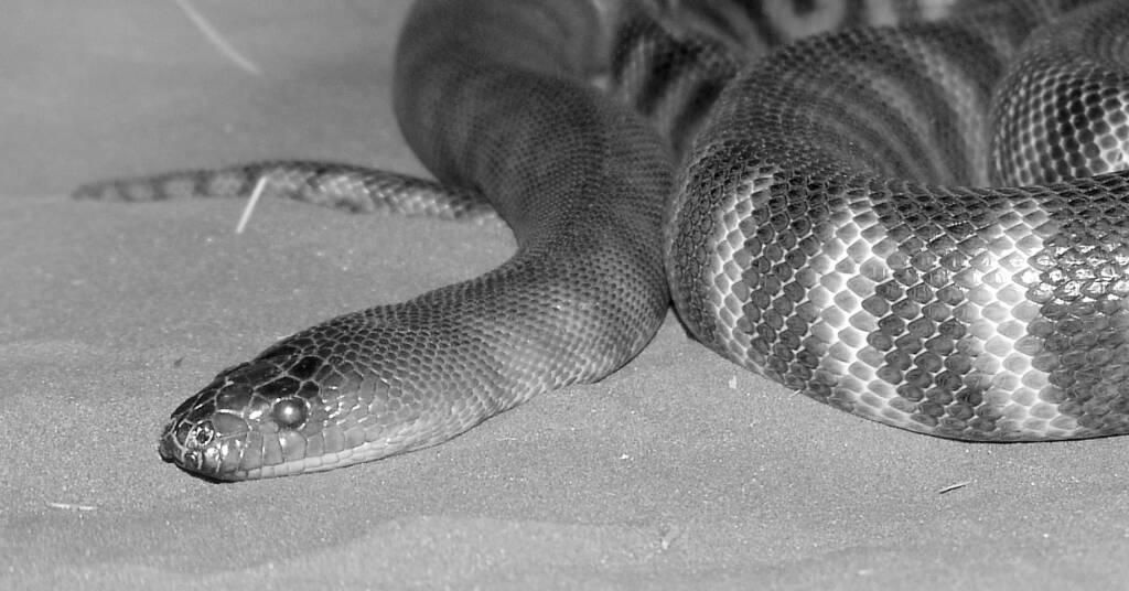 Woma Python (Aspidites ramsayi), Alice Springs Desert Park