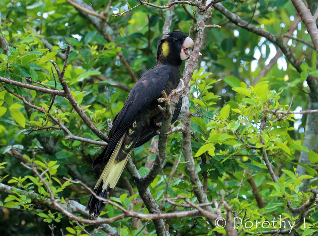 Yellow-tailed Black Cockatoo (Zanda funerea)