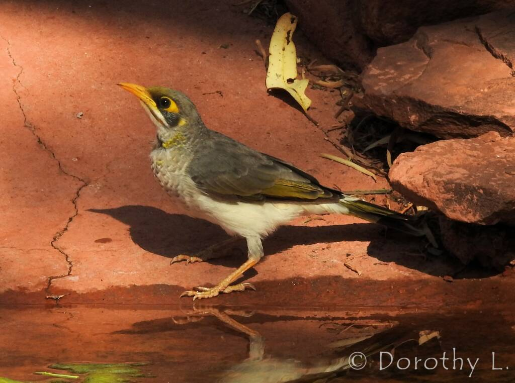 Yellow-throated Miner (Manorina flavigula)