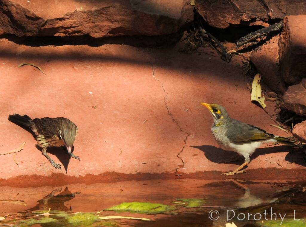 Spiny-cheeked Honeyeater and Yellow-throated Miner