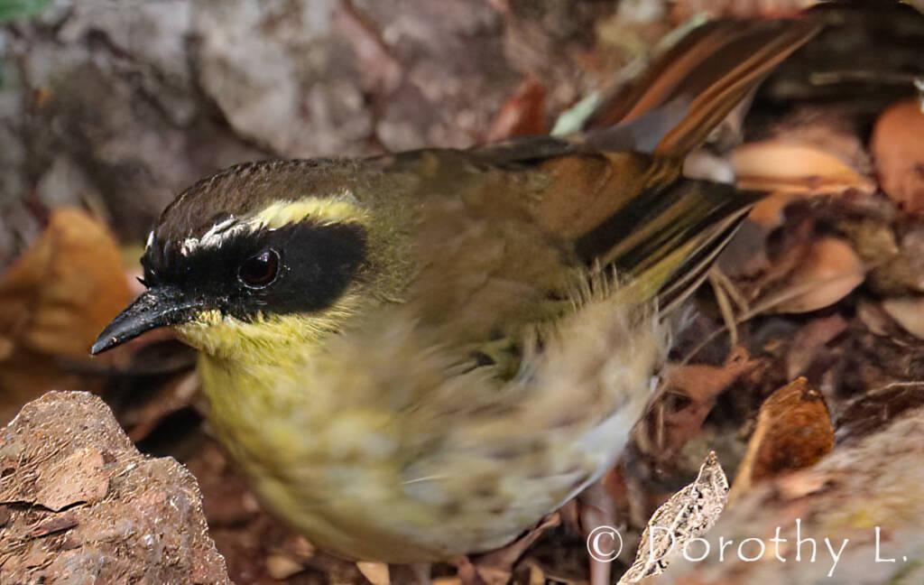 Yellow-throated Scrubwren (Neosericornis citreogularis)