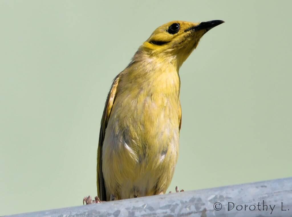 Yellow-tinted Honeyeater (Ptilotula flavescens)